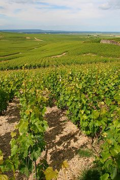 Vineyards as far as the eye can see, Champagne region, France