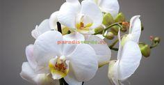 Cum se provoacă o nouă înflorire la orhidee Orchids, Rose, Garden, Google Search, Interiors, Plant, Magnolias, Pink, Garten