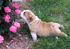This little guy only had enough energy to stop and smell one rose before taking his much needed nap.