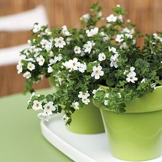 Small pots with Bacopa.  Super plants that trail and bloom all Summer in the heat!