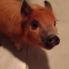 This pint-sized pig who's already mastered this whole oinking thing: | 14 Animals Who Just Found Their Own Voice