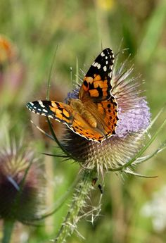 See Painted Lady butterfly in meadow