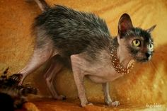 A natural mutation causes the Lykoi to look like a werewolf. Read more: http://www.care2.com/causes/the-werewolf-cat-is-everything-thats-wrong-with-designer-breeds.html#ixzz2uA3EGXGc