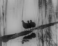 these three appear to be making plans for the day. Blink Photography, Three Friends, Take A Shot, Bird, How To Plan, Black And White, Artist, Painting, Animals