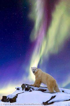 Aurora Borealis swirls across the sky as a polar bear watches on standing on a rock, on the Alaska, Tundra