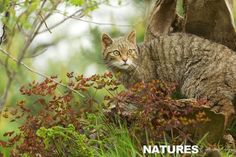 Scottish-Wildcat-photographed-during-NaturesLens-British-Mammals-Nature-Photography-workshop-837x558.jpg (837×558)