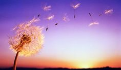 Image discovered by Clarice Nilles. Find images and videos about beautiful, nature and dandelion on We Heart It - the app to get lost in what you love. Arte Linear, Dandelion Wish, Sunset Wallpaper, Cover Pics, Cover Picture, Its A Wonderful Life, Wild And Free, Make A Wish, Taking Pictures