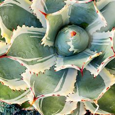 Agave - Top Types of Succulents for Home Gardens - Sunset