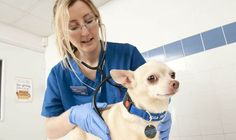 Got a sick Chihuahua? Keep your Chihuahua healthy by knowing how to care for them. Visit http://www.famouschihuahua.com/book/