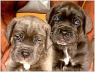 Adorable, but won't stay that small for long (mastiff puppies)