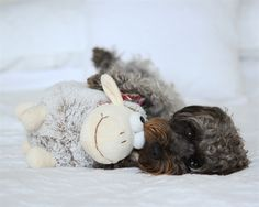 Lee Caroline - A World of Inspiration: My New Camera & My First Shoot, My little Schnoodle Beautiful Images, Pup, Cute Animals, Nikon D7100, Delicious Deserts, Teddy Bear, Long Awaited, World, Artist