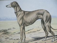 ANTIQUE 1907 GREYHOUND dog signed dog print Chromolithograph P Mahler German artist Collectors item Christmas,Birthday gift Authentic by Hollysprints on Etsy