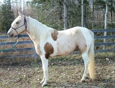 Calico Tobiano;  the presence of tobiano may have a tendency to allow somatic mutation of the cream gene.   Rare colored horses! POST AWAY!! - Page 388