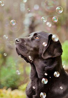 Jessica Keating Photography, via Flickr | Pet Photography | Labrador Retriever | Puppy | Dog | Portrait | #LabradorRetriever