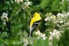 Eastern Goldfinch~  New Jersey