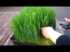 How to grow organic wheatgrass - Easy Home Grown Outdoor Farm Gardens, Outdoor Gardens, Fodder System, Growing Wheat Grass, Sprouting Seeds, Victory Garden, Grow Organic, Gardening, Horticulture