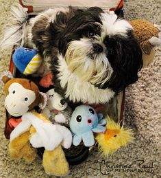 Shih Tzu ... can't have enough toys if you're a Tzu