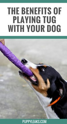 How to play a fun & safe game of tug with your dog. @KaufmannsPuppy
