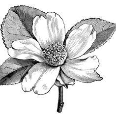 Camellia oleifera, camellia flower illustration, black and white clip art, vintage flower clipart, floral graphics free