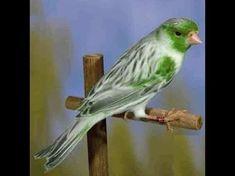 Canto de Pássaros Silvestres - 77 Melhores Cantos - YouTube