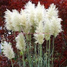 Herbe de la Pampa blanche réf.474