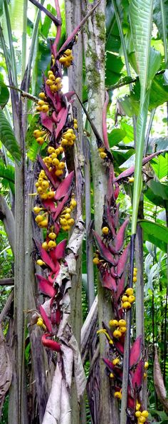 Heliconia lozanoi keeps no secrets