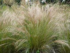 Bestel Stipa tenuifolia voordelig bij Plantenweelde