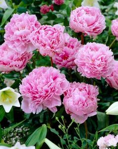 It is time for peonies now (Paeonia lactiflora 'Sarah Bernhardt') Pioni on upea alkukesän kukkija :) Very large, fragrant, double rose-pink flowers. They can live 100 years. Flowers Perennials, Planting Flowers, Spring Perennials, Pink Peonies, Pink Flowers, Exotic Flowers, Yellow Roses, Pink Roses, Peony Colors