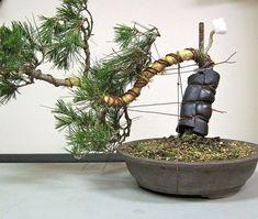 Kusamura Bonsai Club - Making Dramatic Bends in a Pine Ficus Bonsai, Bonsai Pruning, Bonsai Plants, Bonsai Trees, Bonsai Tree Care, Indoor Bonsai Tree, Garden Terrarium, Bonsai Garden, How To Grow Bonsai