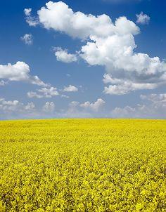 Rapsfält och blå himmel