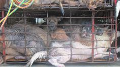 Dog Meat Trade in Vietnam : Help to end this by signing the petition https://savedogs.soidog.org/