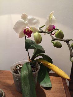 Phaleonopsis