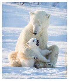 Anne ile Yavru. #PolarBear - Polar Bear