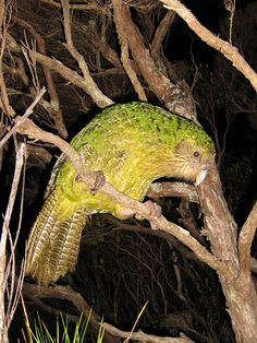 Kakapo - Strigops Habroptilus, from: New Zealand