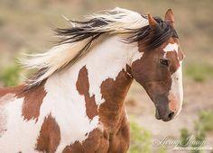 Wild Mustang 'Picasso' Runs  -- (Fine Art Wild Horse Photograph by Carol Walker www.LivingImagesCJW.com)