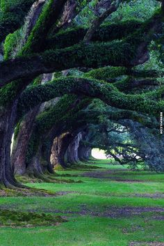 300 year old alley of Oak trees along the Mississippi River - MemePix