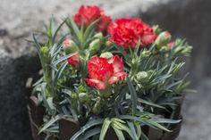 Carnation by Janita Sumeiko on Carnations, Inspired, Plants, Inspiration, Biblical Inspiration, Plant, Inspirational, Planets, Inhalation