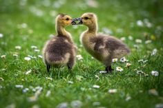 Thursday, May 7: Goslings -  Two Canada goose goslings are pictured on a daisy meadow at the Volksgarten park in Duesseldorf, Germany on May 5, 2015.  -   © Maja Hitij/AFP/Getty Images