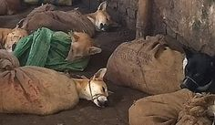 Sign the petition demanding an and to the horrifically cruel dog and cat meat trade of Nagaland, India.