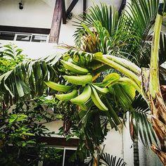 Banana #boliviantours