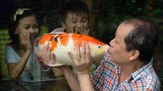 El propietario Zoo Manny Tangco besa a una carpa Koi japonés, en el interior de un acuario en un zoológico de Manila. Las carpas Koi japonesas se exhiben como parte de la atracción del zoológico. AFP