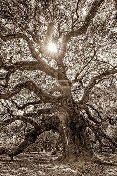 Angel Oak- Sun Beam Photograph by Drew Castelhano