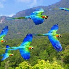 Red & Blue Macaws, Native to humid  evergreen forests of tropical South America, Range: extreme SE Mexico to Amazonian Peru, Brazil, & Bolivia