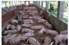 Eating Pork In China Is Suicidal   China Blog