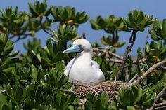 "From the ""Pete at Midway"" blog - a very interesting site. ""The Red-footed boobies are nesting on Eastern Island."" What cool birds!"