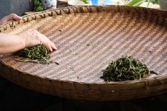 Hand rolling Pu'er tea to prepare it for processing.