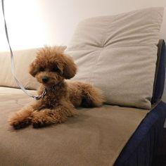 写真は先日のペットイベント「愛犬と一緒にローソファを試そう」に来てくれたトイプードルのこはなちゃん。つみきソファにラムース生地でご購入いただき、ホリホリ・ガジガジ対策もばっちりです♪  6/2(土)・3(日)にもペットイベントを開催します!イベントは完全予約制・先着順となっておりますので、ご検討中の方はお早めにどうぞ~!応募フォームやご注意点はHPページにて!