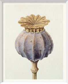 illustration of a poppy seed head – papaver somniferum. illustration of a poppy seed head – papaver Illustration Botanique, Art Et Illustration, Illustrations, Botanical Drawings, Botanical Prints, Art Floral, Impressions Botaniques, Denver Botanic Gardens, Plant Painting