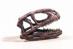 Abelisaurus Dinosaur Fossil Skull for sale at www.SkeletonsAndSkullsSuperstore.com. These skulls and skeletons replicas are ideal for educators, veterinarians and students.
