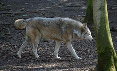 Northwestern Wolf Side View Stock by DrWheelieMobile on DeviantArt